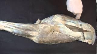 мышцы плечевого и локтевого суставов лошади