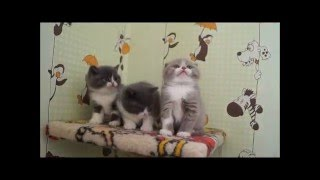 шотландские котята продаются!