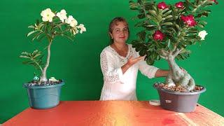 Aprenda a Alongar sua Rosa do Deserto para Fazer uma Escultura Viva