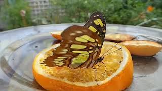 Kupu - kupu lagu anak - kupu kupu lucu