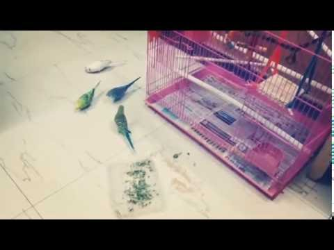 How to bring budgies out of cage easily