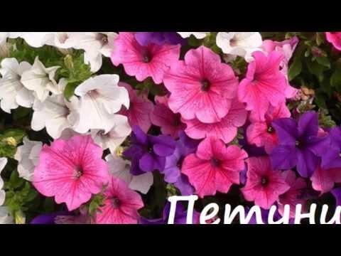 Сажайте клумбы непрерывного цветения из однолетников  Какие цветы сажать