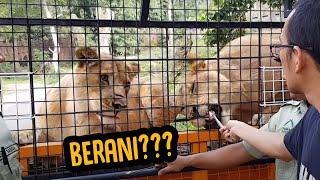 Feeding Lion - extrim kasih makan singa disuapin