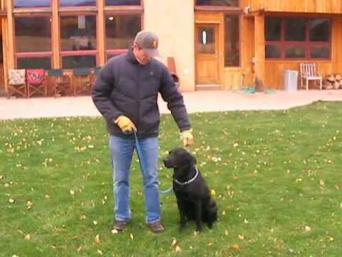 how-to-train-labrador-retrievers