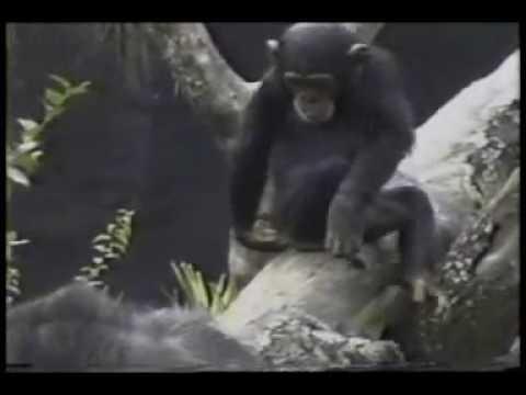 un singe qui tombe en sentant l 39 odeur de son anus youtube. Black Bedroom Furniture Sets. Home Design Ideas