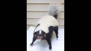 skunk porno 18+