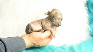Mythic Kingdom bald naked true hairless lavender colored Chinese Crested Pablo 4 weeks