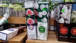 Сирень, голубика, хвоя  Растения, цветы, саженцы - обзор в