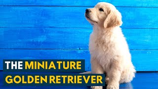 Miniature Golden Retriever: All the Qualities of The Golden Retriever In A Smaller Package!