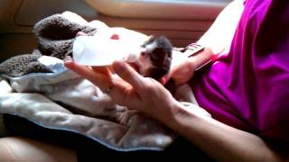Newborn kitty drinking Thumbnail