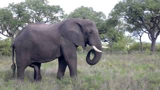 "Elephant scratching himself with his growing ""second trunk"""