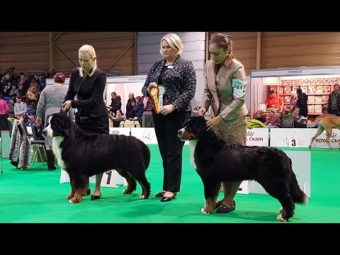 BERNESE MOUNTAIN DOG. Part 4 of 4. ZooExpo 2016 FCI CACIB Dog Show