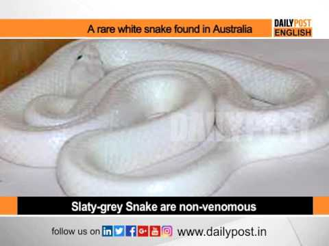 White Snake Rare Snake Snakes National Geography Discovery Youtube