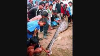 ANACONDA vs LEOPARD ► Anaconda Vs Crocodile - Jaguar EATS Anaconda Snake ALIVE!!
