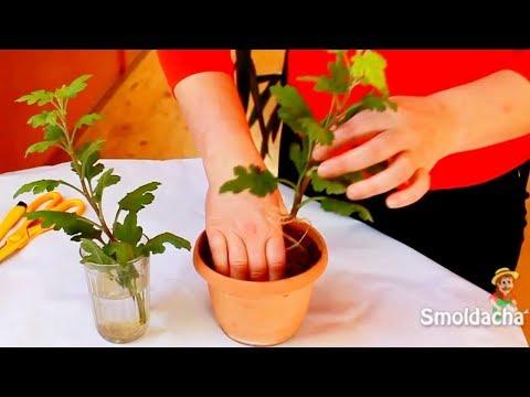 Размножение хризантем. Черенкование комнатной хризантемы