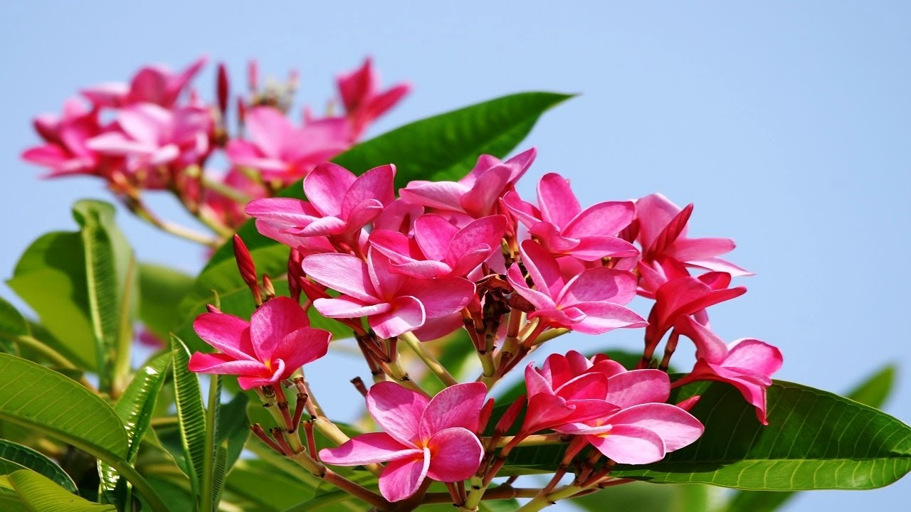 top 10 colorful plumeria flower you seen amazing flowers
