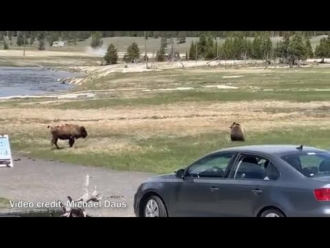 Bear takes down bison in Yellowstone National Park