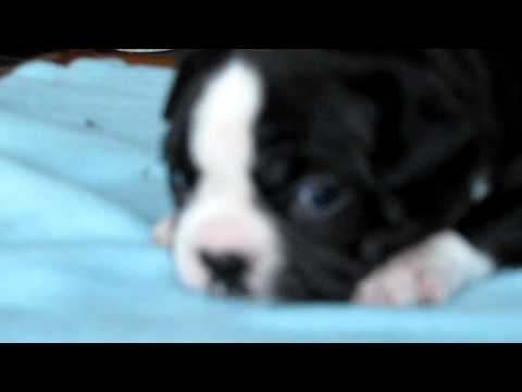 Boston Terrier puppy - calling for mom