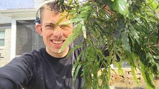 Africa plants Q and A. Bolbitus, Anubias