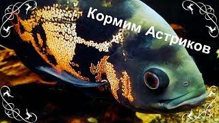 Кормление Астронотусов Живой рыбой