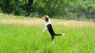 Pocket Beagle On The Hunt Breeder The Mimi Beagle Hunts A Lizzard Beagle Smell All