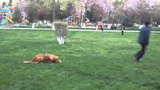 Golden Retriever Obedience Training