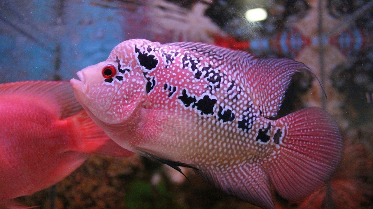 Ciri Ciri Ikan Louhan Sakit Youtube