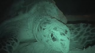Op Jairo Caribbean Night Patrol III - Hawksbill covering nest