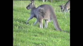 Australia - kangury.