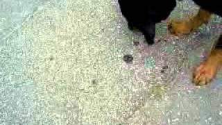 Смертельная схватка собаки со змеёй.3gp
