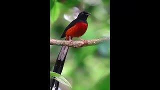 Terapi Refres Burung Agar Cepat Gacor