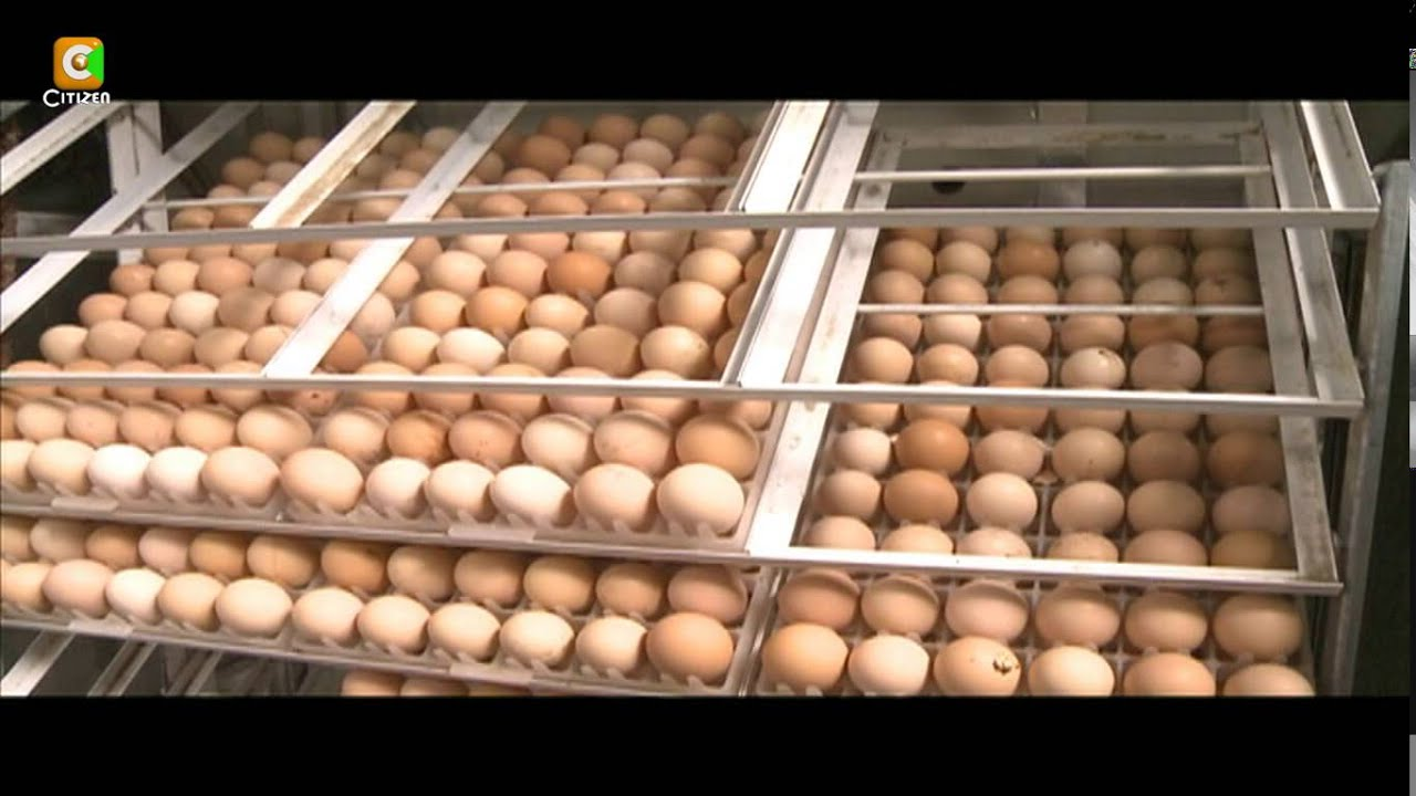 Smart Farm: kienyeji chicken hatchery business - YouTube