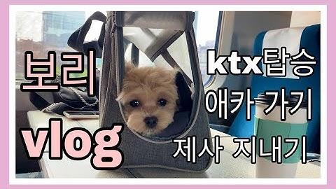 [보리vlog]말티푸ㅣktx탑승ㅣ애견카페ㅣ말티즈ㅣ아기 강아지