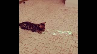 """бенгальская кошка - питомник кошек Lantana Fly - """"Cattery Bengal Cats"""" - Kasper"""