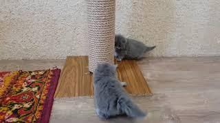 Британские котята   ролились 26 10 2018