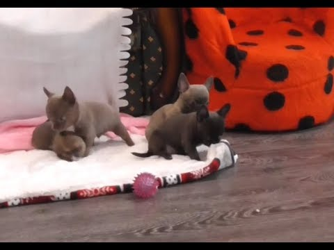 Вопрос: Какие получатся щенки чихуахуа,если мама рыжая,а папа голубо-палевый?