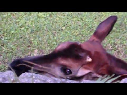 Okapi with its 18-inch Tongue