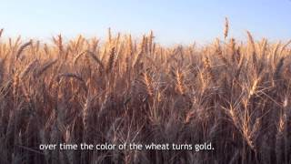 Poetic Documentary on Farming in Punjab ( Wheat & Rice Growth)