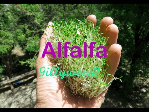 Easy Fastest Way to Grow Fresh Greens (Alfalfa Sprouts)