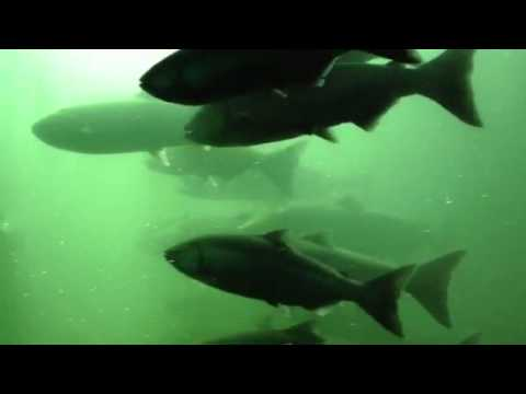 Chinook salmon at the bonneville dam fish ladder youtube for Bonneville dam fish count