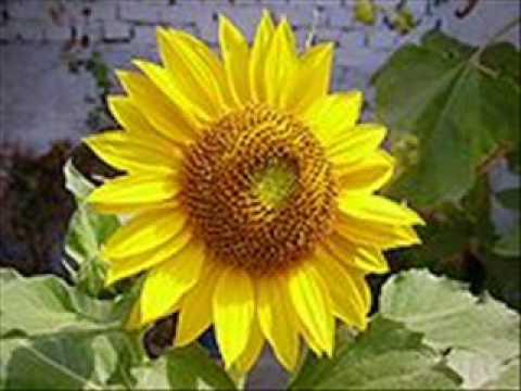 little-sunflower---freddie-hubbard-(-gilles-peterson-mix-)