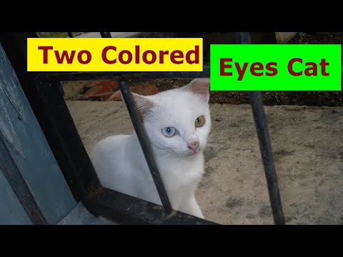 Rare Solid White Cat with Two Colored Eyes