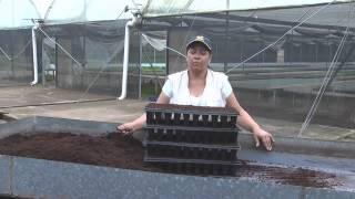Proceso de Pre - Germinación de la Semilla de Papaya