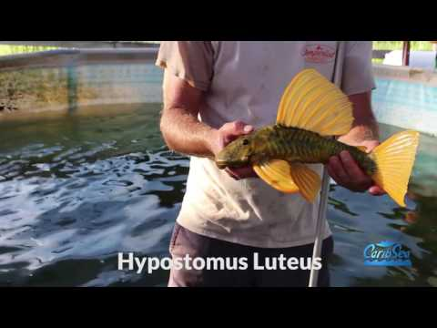 Cichlids, Hypostomus Plecos and more on the fish farm