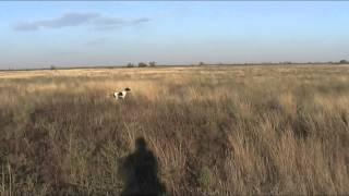 Английский пойнтер Юми,9 месяцев,натаска по перепелу, Крым.(, 2014-09-25T18:25:28.000Z)