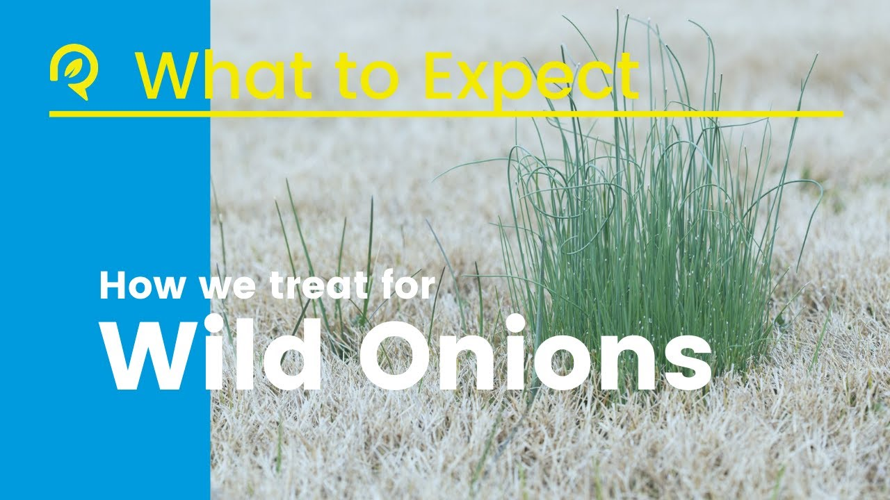Wild Onion Woes