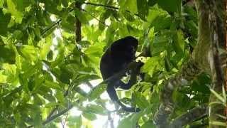 Bébé singe hurleur avec sa maman - Puerto Viejo de Sarapiqui - Costa Rica