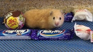 🍬Candy Obstacle Course for Hamster Jerry