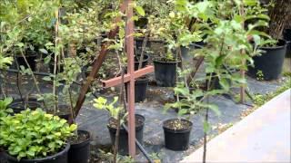 Плодовые деревья - выбор саженцев, посадка, уход(В этом видео специалист Садового центра
