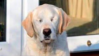 Собака-поводырь ослепла и хозяин решил взять другого пса, трогательная история